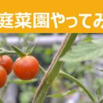 プチトマトを水耕栽培で作っています