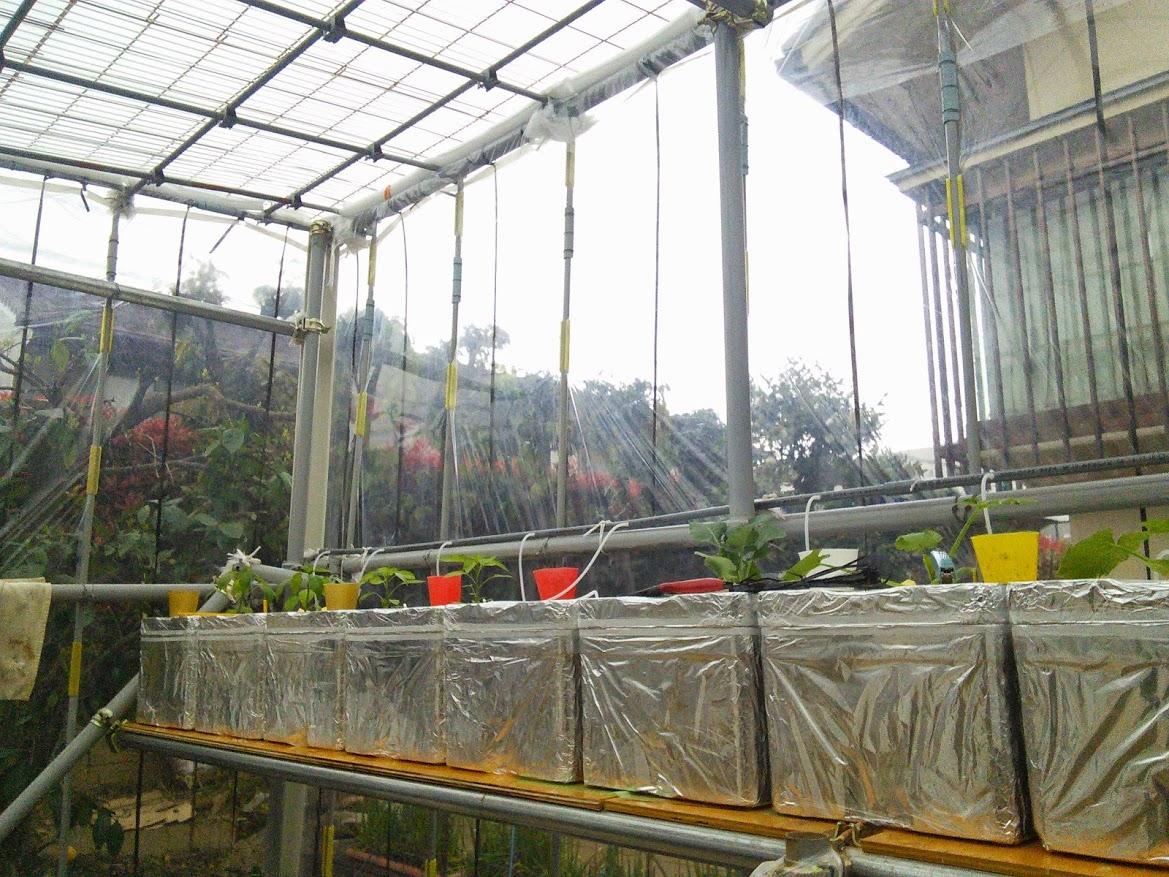 水耕栽培の植え始め