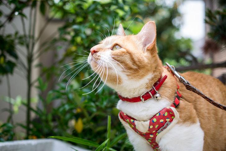 ネコにハーネスとリードを付けて散歩