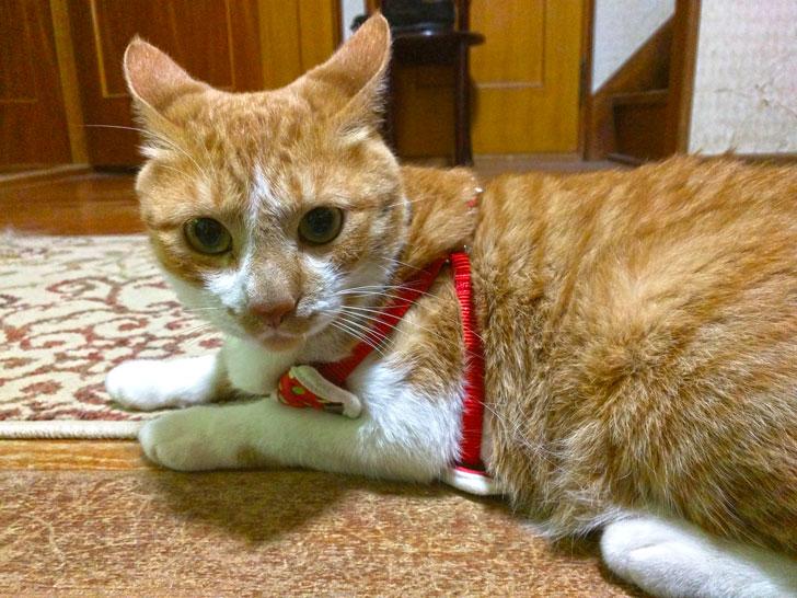 ハーネスを付けたネコ