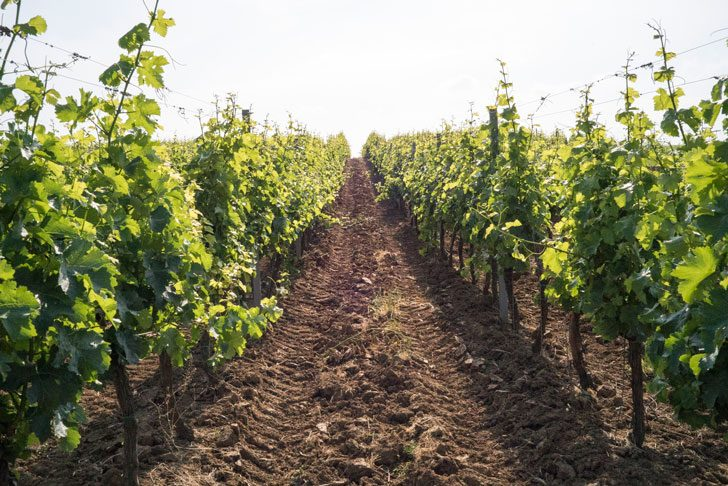 スレムスキカルロブッチのブドウ畑