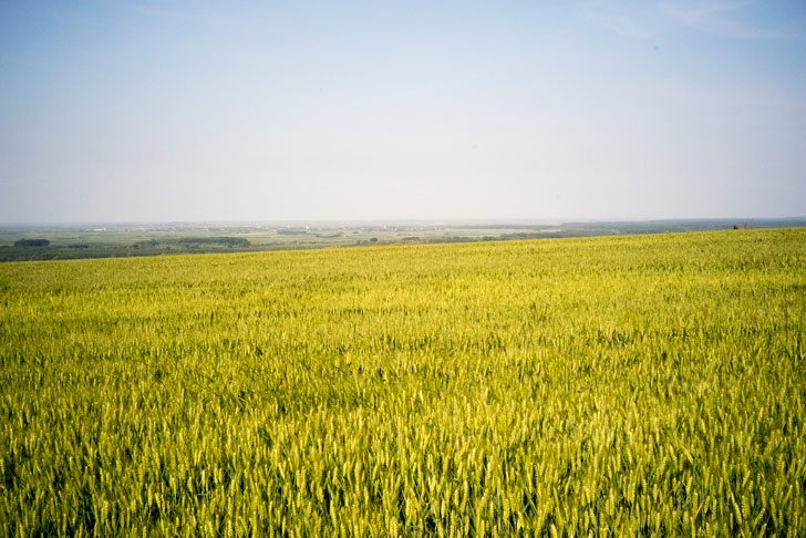 セルビアの麦畑