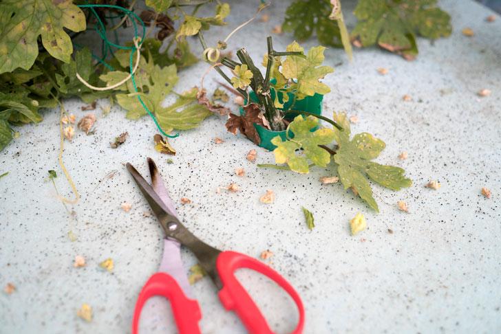 茎の根本で切断