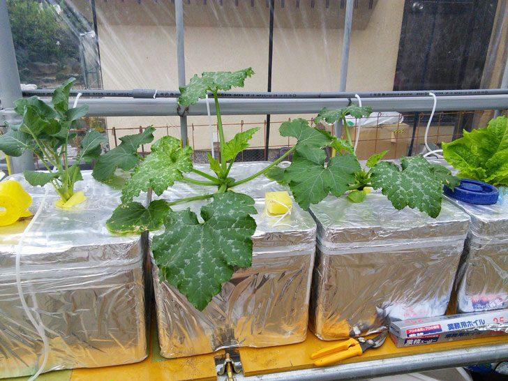 複数の発泡スチロールで水耕栽培