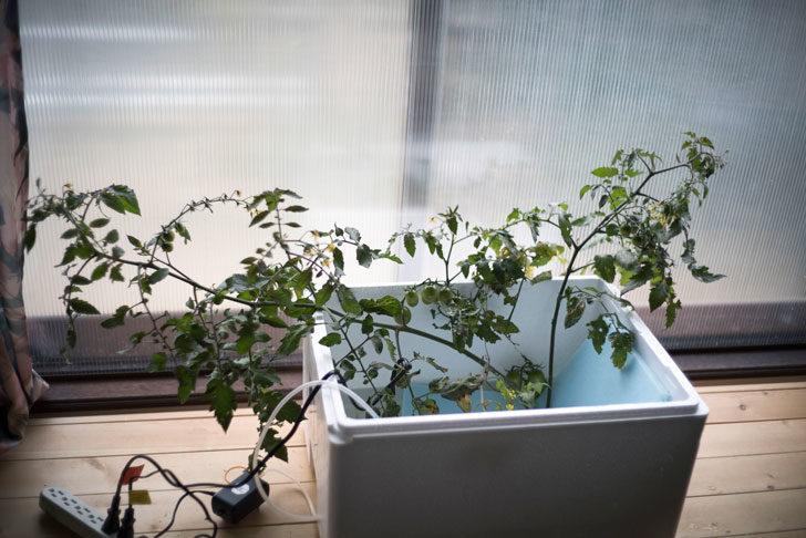 水耕栽培化させるトマト