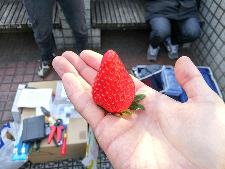 特大イチゴ