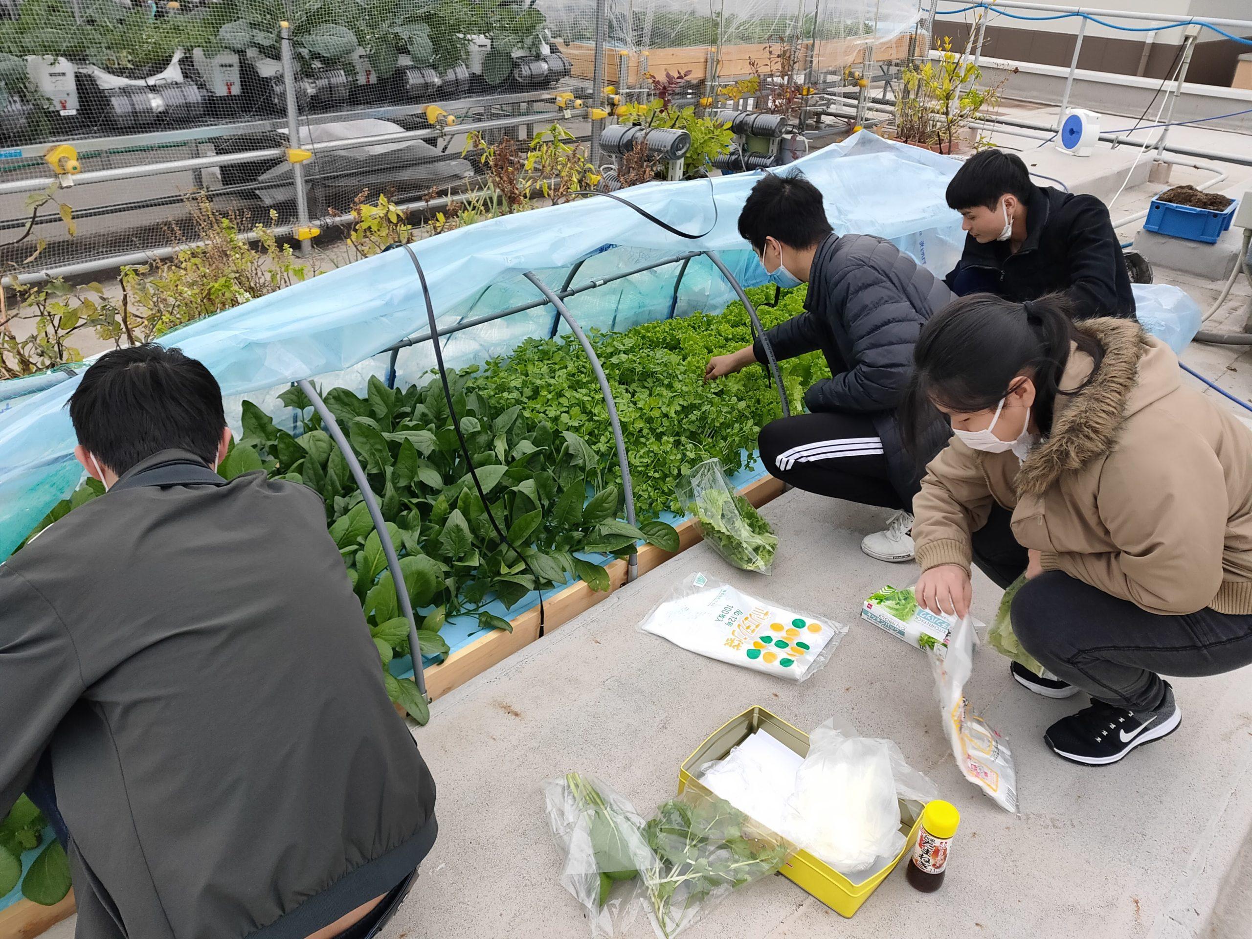 屋上水耕栽培